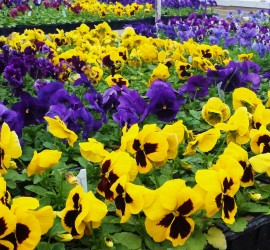 Spring into color! Pansies and Violas (3-12-14)
